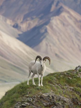Dall Sheep Rams, Denali National Park, Alaska, USA