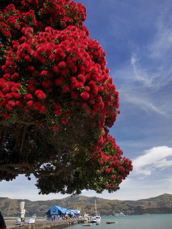 Pohutukawa Tree and Akaroa Harbour, Akaroa, Banks Peninsula, Canterbury, South Island, New Zealand