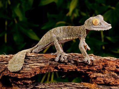 Giant Leaf-Tailed Gecko, Uroplatus Fimbriatus, Native to Madagascar