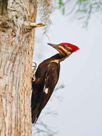 Pileated Woodpecker, Caddo Lake, Texas, USA