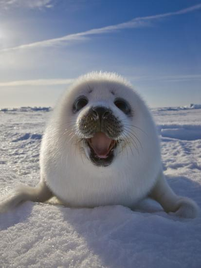 Harp Seal Pup On Ice Iles De La Madeleine Canada Quebec