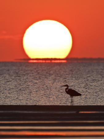 Great Heron, Laguna Madre, Texas, USA