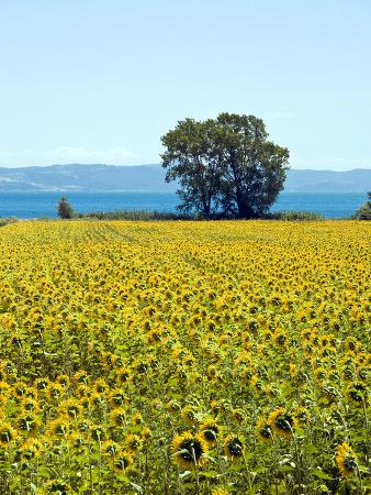 Field of Sunflowers, Lake of Bolsena, Bolsena, Viterbo Province, Latium, Italy