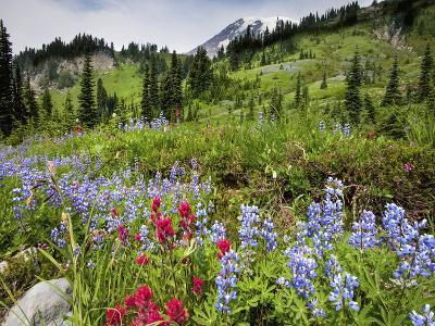 Wildflowers on Meadows, Mount Rainier National Park, Washington, USA