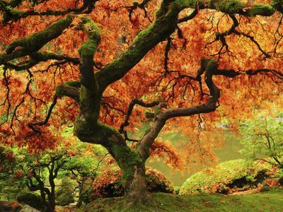Japanese Maple in Full Fall Color, Portland Japanese Garden, Portland, Oregon, USA