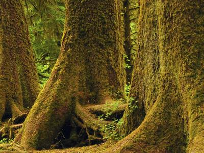 Western Red Cedar, Hoh Rain Forest, Olympic National Park, Washington, USA