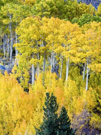 Aspen Fall Foliage, Eastern Sierra Foothills, California, USA