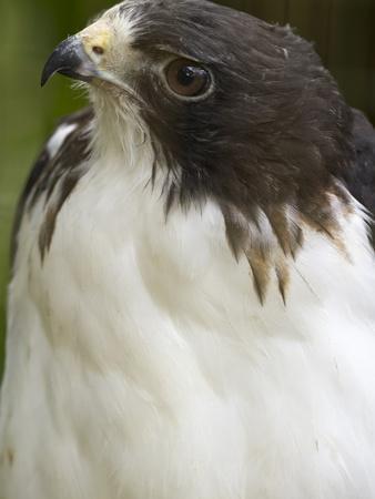 White-Tailed Hawk, Anton El Valle, Panama