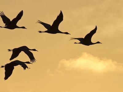 Sandhill Cranes (Grus Canadensis) Flying at Dawn, Platte River, Nebraska, USA