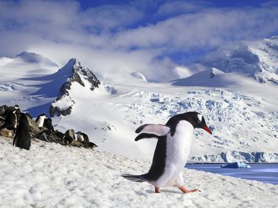 Gentoo Penguin (Pygoscelis Papua) Waddles Toward the Arctic Sea Near Paradise Harbor, Antarctica