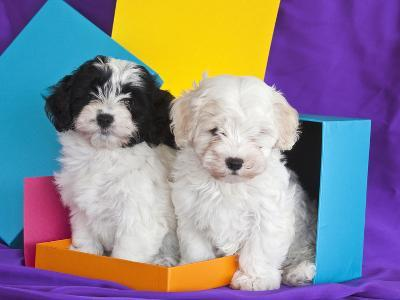 Two Havanese Puppies Sitting Together Surrounded by Colors, California, USA