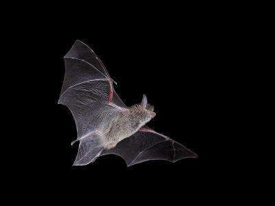 Cave Myotis (Myotis Velifer) in Flight in Captivity, Hidalgo County, New Mexico, USA, North America