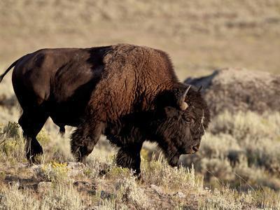 Bison (Bison Bison) Bull, Yellowstone National Park, Wyoming, USA, North America