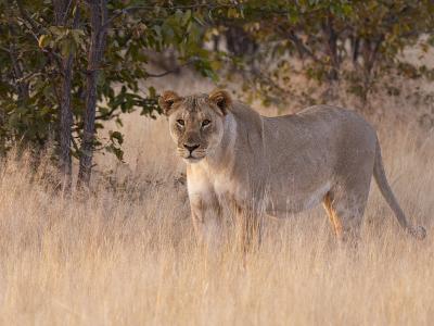 Lion (Panthera Leo), Ongava Game Reserve, Near Etosha National Park, Namibia, Africa
