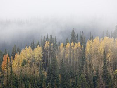 Yellow Aspens and Evergreens with Low Clouds, Wasatch-Cache National Forest, Utah, USA