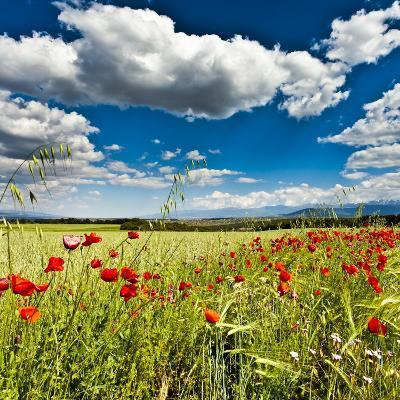Wild Poppies (Papaver Rhoeas) and Wild Grasses in Front of Sierra Nevada Mountains, Spain