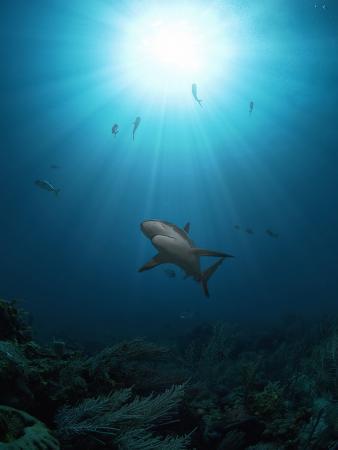 Caribbean Reef Shark (Carcharhinus Perezii) with Sun Seen from Below, Roatan, Bay Islands, Honduras