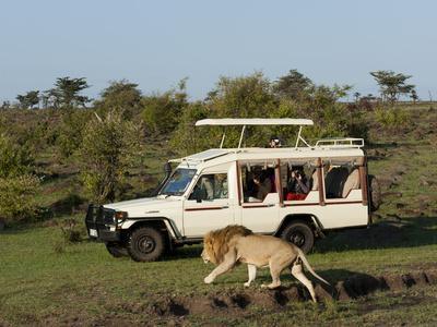 Lion (Panthera Leo) and Safari Vehicle, Masai Mara, Kenya, East Africa, Africa