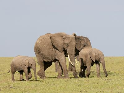 African Elephant (Loxodonta Africana), Masai Mara, Kenya, East Africa, Africa