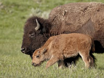 Bison (Bison Bison) Cow and Calf, Yellowstone National Park, Wyoming, USA, North America