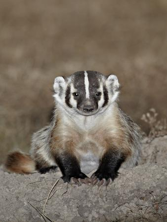 Badger (Taxidea Taxus), Buffalo Gap National Grassland, Conata Basin, South Dakota, USA