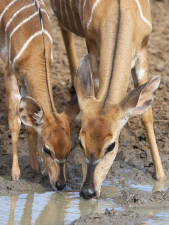Nyala (Tragelaphus Angasii), Female with Baby Drinking, Mkhuze Game Reserve, South Africa, Africa