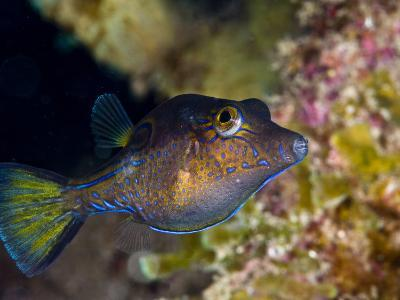 Sharpnose Puffer (Canthigaster Rostrata), St. Lucia, West Indies, Caribbean, Central America