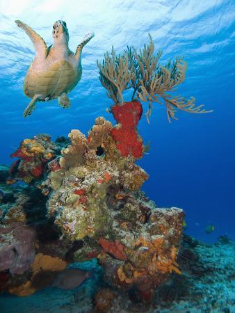Sea Turtle (Chelonioidea) Swimming over the Coral, Cozumel, Mexico, Caribbean, North America