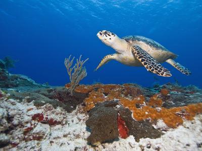 Sea Turtle (Chelonioidea), Cozumel, Mexico, Caribbean, North America
