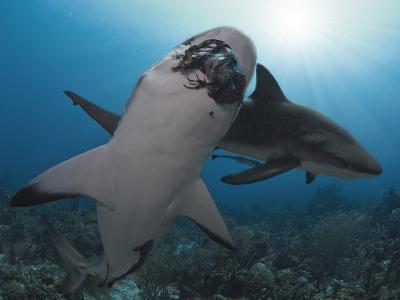 Caribbean Reef Shark (Carcharhinus Perezii) Eating Lionfish (Pterois Volitans), Roatan, Honduras