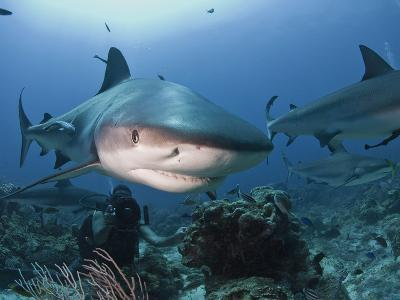 Caribbean Reef Shark (Carcharhinus Perezii) Swimming with Diver, Roatan, Bay Islands, Honduras