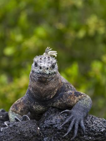 Galapagos Marine Iguana (Amblyrhynchus Cristatus), UNESCO World Heritge Site, Ecuador