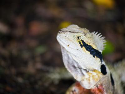 Australian Eastern Water Dragon (Physignathus Lesueurii) in Brisbane Botanical Gardens, Australia