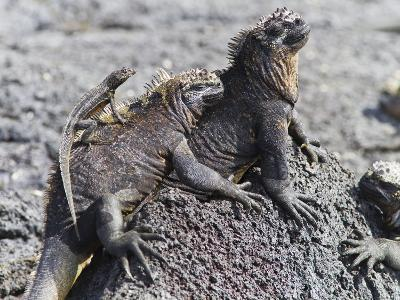 Galapagos Marine Iguana (Amblyrhynchus Cristatus), Galapagos, UNESCO World Heritage Site, Ecuador