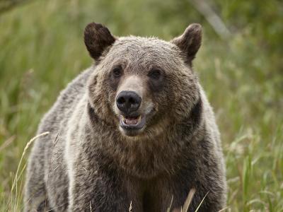 Grizzly Bear (Ursus Arctos Horribilis), Glacier National Park, Montana, USA, North America