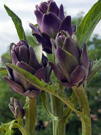 Artichoke on the Plant in the Open Air, Italy, Europe