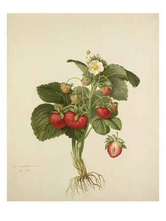 Strawberry Wilmots Superb