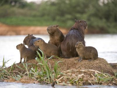 Capybara (Hydrochoerus Hydrochaeris) Family on a Rock, Three Brothers River, Meeting of the Wate...
