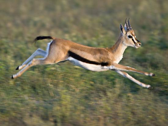 Thomson S Gazelle Eudorcas Thomsonii Running Tanzania