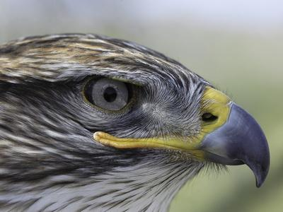 The Profile of a Ferruginous Hawk, Buteo Regalis