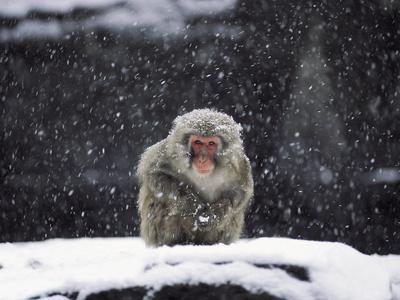 A Snow Monkey in Captivity