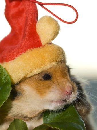 A Hamster with a Red Hat