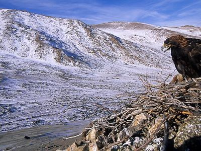 A Golden Eagle on a Nest in Altai Mountains with Eagle Hunters Below