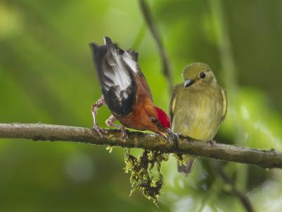 A Male Club-Winged Manakin Attracts a Female with His Sound