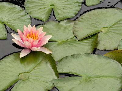 Floating Water Lily Flower and Lily Pads, Nymphaea Species