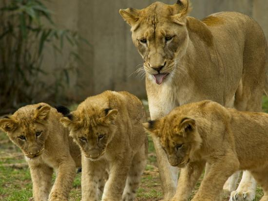 A Lioness And Her Cubs Panther Leo Socializing Photographic Print