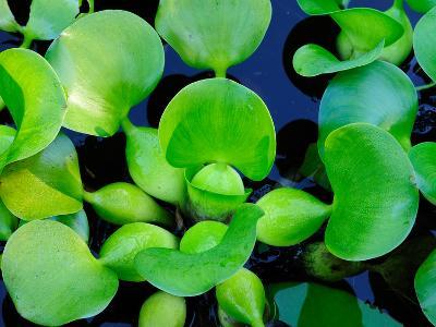 Close Up of Water Hyacinth Plants, Eichhornia Crassipes