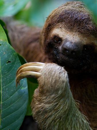 Portrait of a Brown-Throated Three-Toed Sloth, Bradypus Variegatus