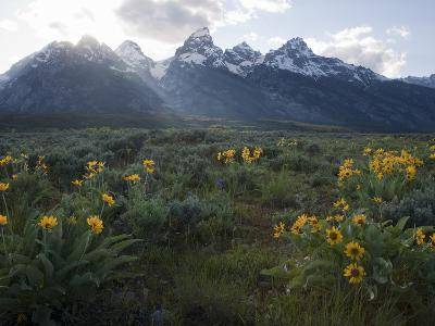 Balsamroot Growing in a Field Against a Backdrop of the Teton Range