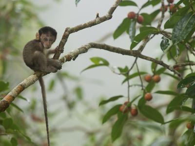 Baby Long-Tailed Macaque, Macaca Fascicularis, in a Strangler Fig